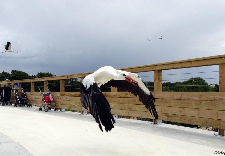 """nouveau spectacle d'oiseaux 2014 """"les maîtres des airs"""", le 26 Juin 2014 suite 9"""