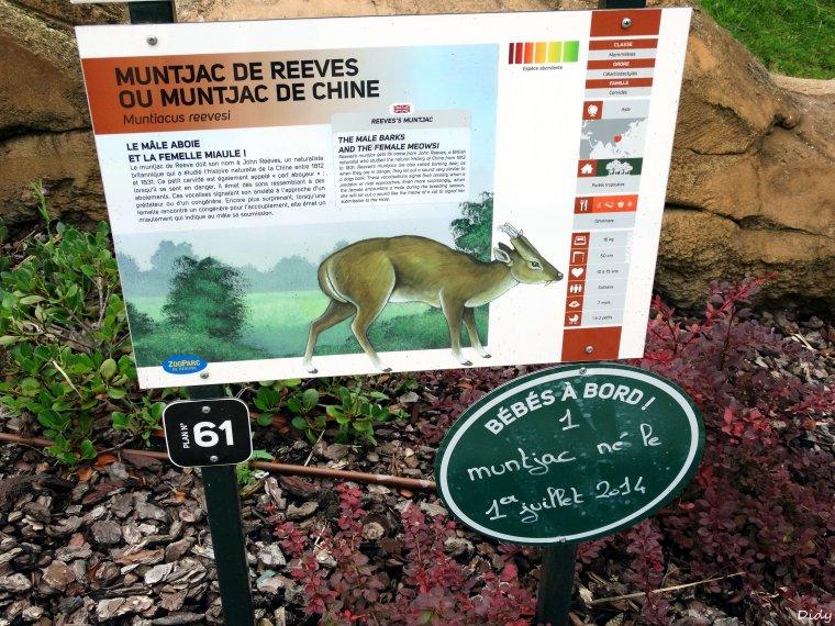 MUNTJAC DE REEVES