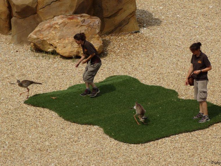 """nouveau spectacle d'oiseaux 2014 """"les maîtres des airs"""",le 19 Juillet 2014 suite 3"""