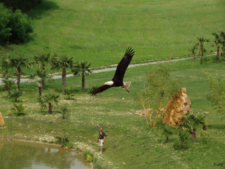 """nouveau spectacle d'oiseaux 2014 """"les maîtres des airs"""",le 19 Juillet 2014 suite 5"""