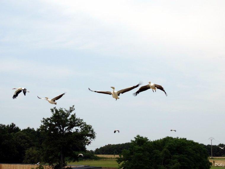 """nouveau spectacle d'oiseaux 2014 """"les maîtres des airs"""",le 19 Juillet 2014 suite 9"""