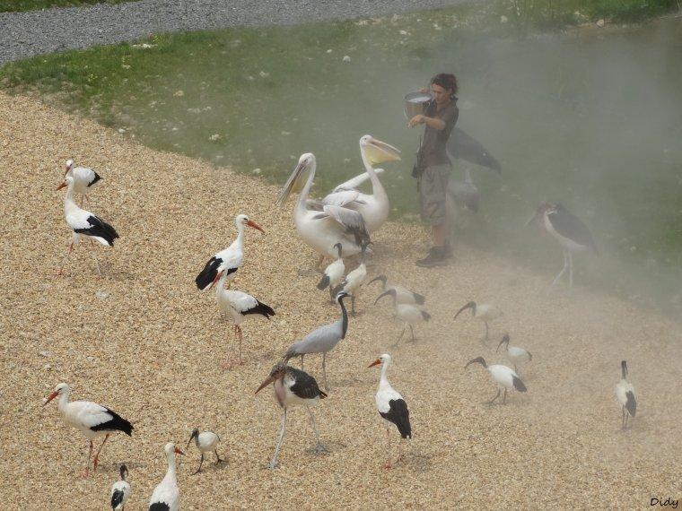 """nouveau spectacle d'oiseaux 2014 """"les maîtres des airs"""",le 19 Juillet 2014 suite 11"""