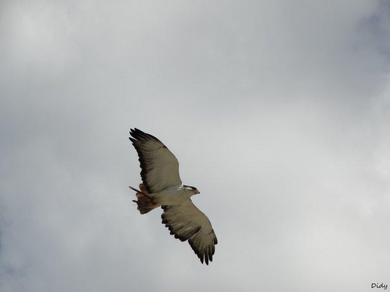 """nouveau spectacle d'oiseaux 2014 """"les maîtres des airs"""",le 1er Août suite 3"""