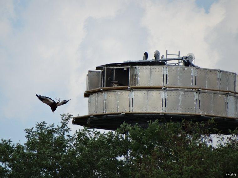 """nouveau spectacle d'oiseaux 2014 """"les maîtres des airs"""",le 1er Août suite 4"""