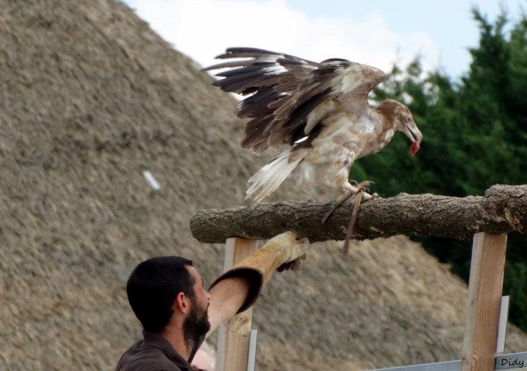 """nouveau spectacle d'oiseaux 2014 """"les maîtres des airs"""",le 1er Août suite 5"""