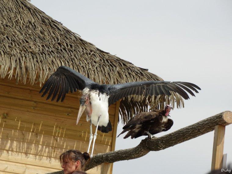 """nouveau spectacle d'oiseaux 2014 """"les maîtres des airs"""",le 1er Août suite 6"""