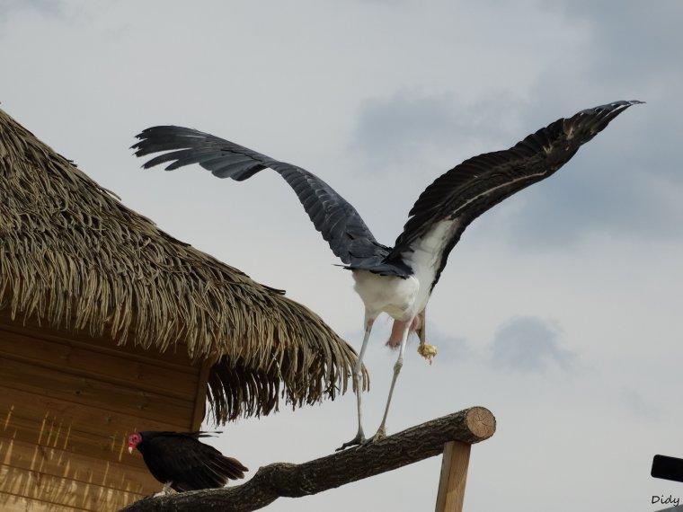 """nouveau spectacle d'oiseaux 2014 """"les maîtres des airs"""",le 1er Août suite 7"""