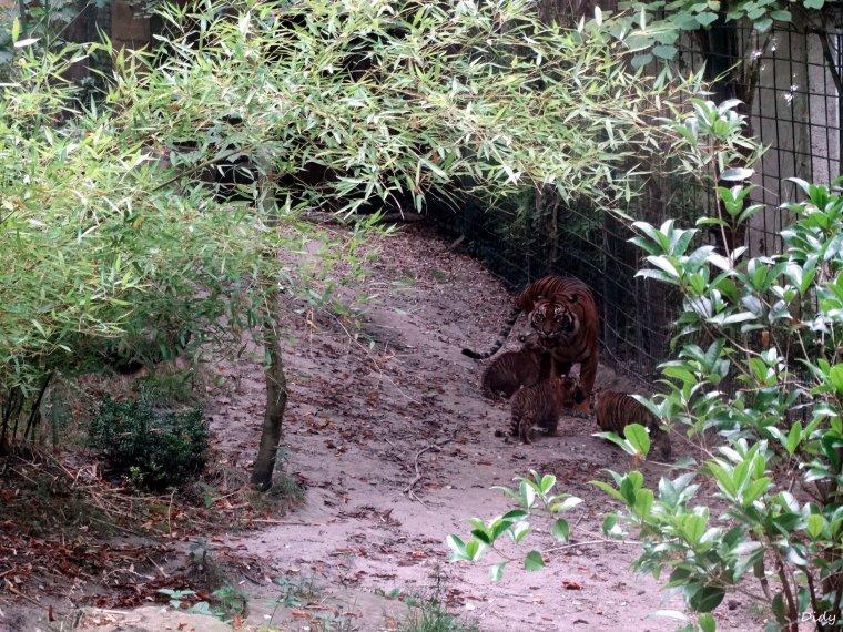 BEBES TIGRES DE SUMATRA