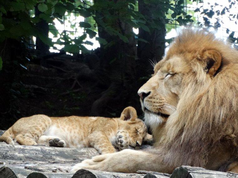 LIONS JAUNES D'AFRIQUE