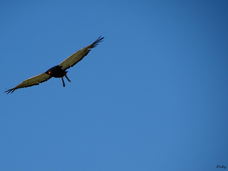 """nouveau spectacle d'oiseaux 2014 """"les maîtres des airs"""",le 21 Août suite 2"""