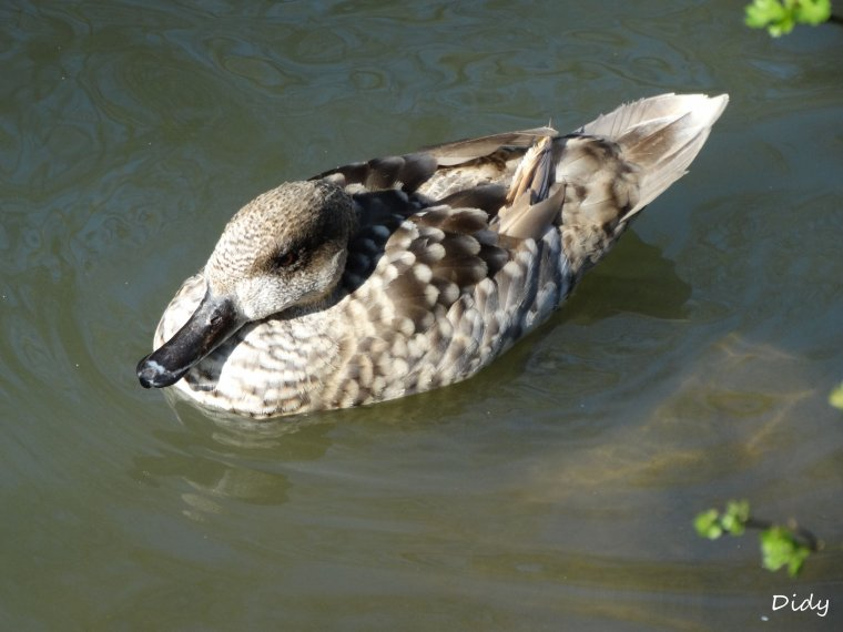 CANARD SARCELLE MARBREE
