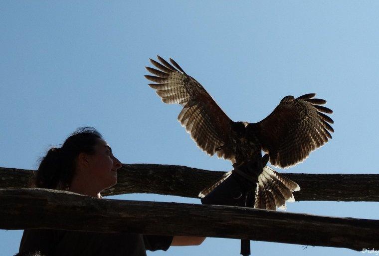 """nouveau spectacle d'oiseaux 2014 """"les maîtres des airs"""",le 7 septembre 2014 suite"""