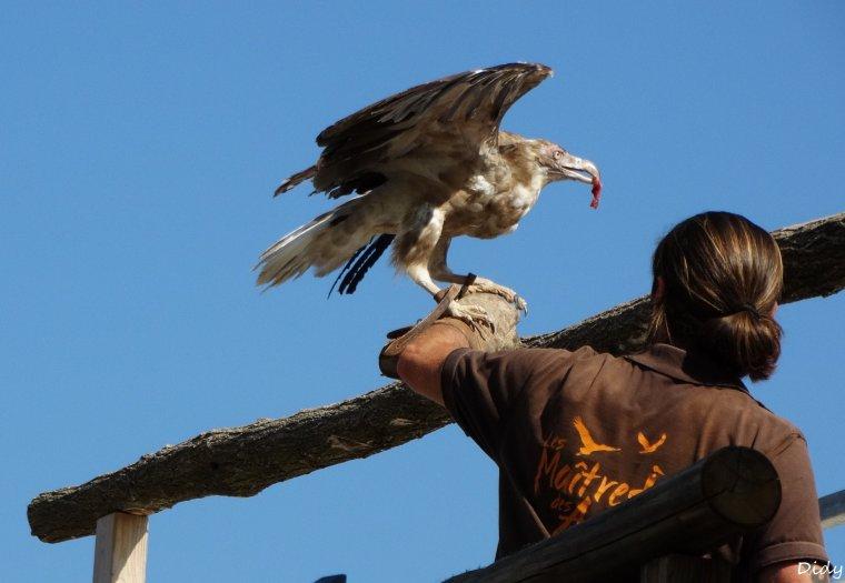 """nouveau spectacle d'oiseaux 2014 """"les maîtres des airs"""",le 7 septembre 2014 suite 3"""