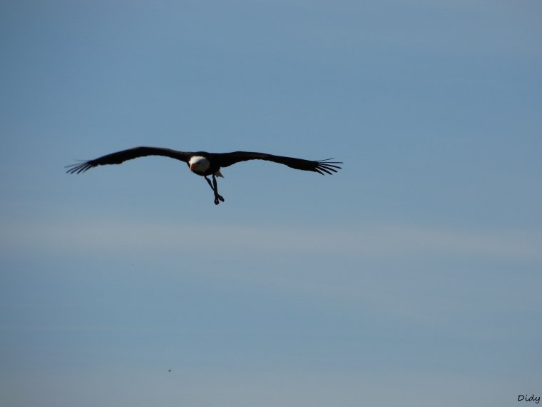 """nouveau spectacle d'oiseaux 2014 """"les maîtres des airs"""",le 26 septembre 2014 suite 4"""