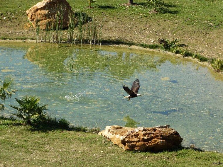 """nouveau spectacle d'oiseaux 2014 """"les maîtres des airs"""",le 26 septembre 2014 suite 5"""