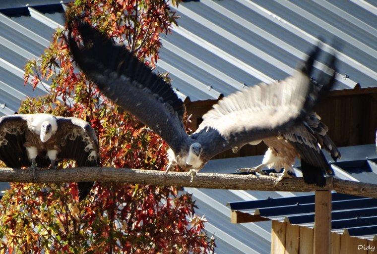 """nouveau spectacle d'oiseaux 2014 """"les maîtres des airs"""",le 26 septembre 2014 suite 8"""