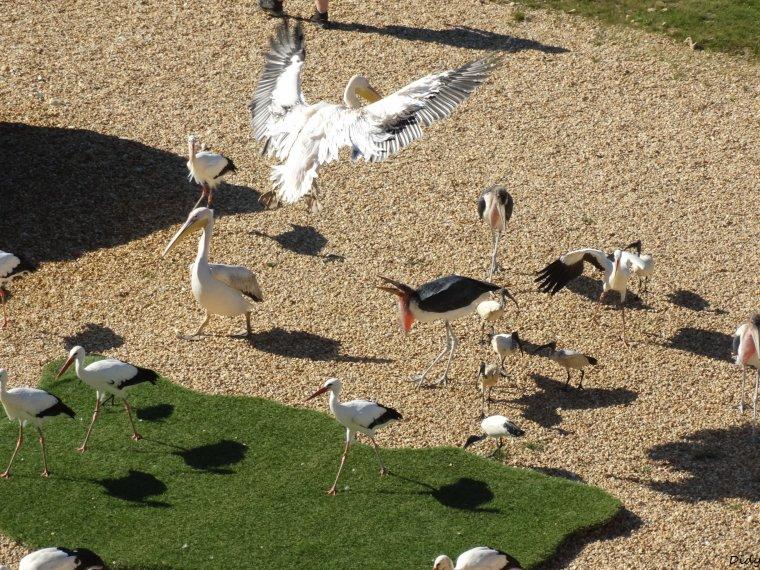 """nouveau spectacle d'oiseaux 2014 """"les maîtres des airs"""",le 26 septembre 2014 suite 13"""