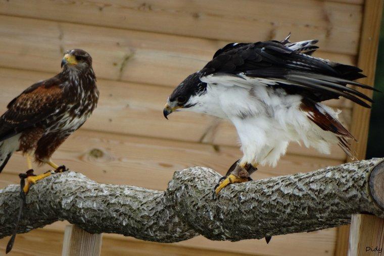 """nouveau spectacle d'oiseaux 2014 """"les maîtres des airs"""", le 10 Octobre 2014 suite"""