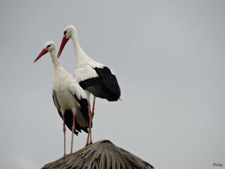 """nouveau spectacle d'oiseaux 2014 """"les maîtres des airs"""", le 10 Octobre 2014 suite 6"""