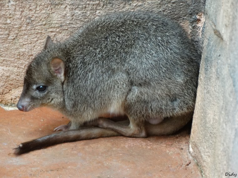 RAT KANGOUROU MUSQUE