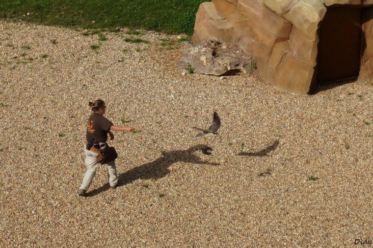 """nouveau spectacle d'oiseaux 2014 """"les maîtres des airs"""", le 19 Octobre 2014 suite"""