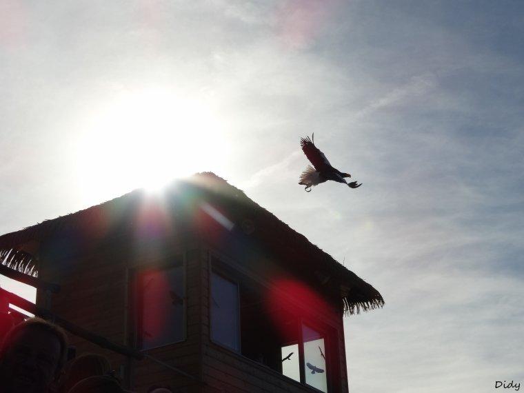 """nouveau spectacle d'oiseaux 2014 """"les maîtres des airs"""", le 19 Octobre 2014 suite 3"""