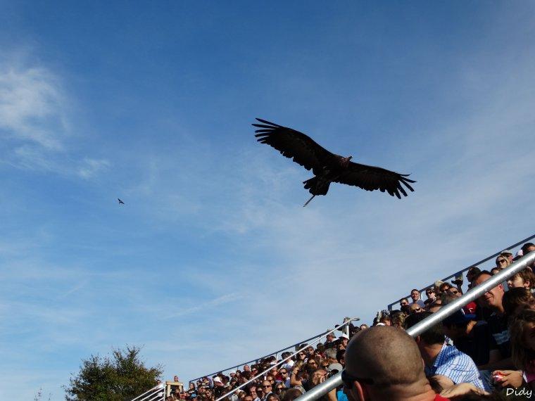 """nouveau spectacle d'oiseaux 2014 """"les maîtres des airs"""", le 19 Octobre 2014 suite 4"""