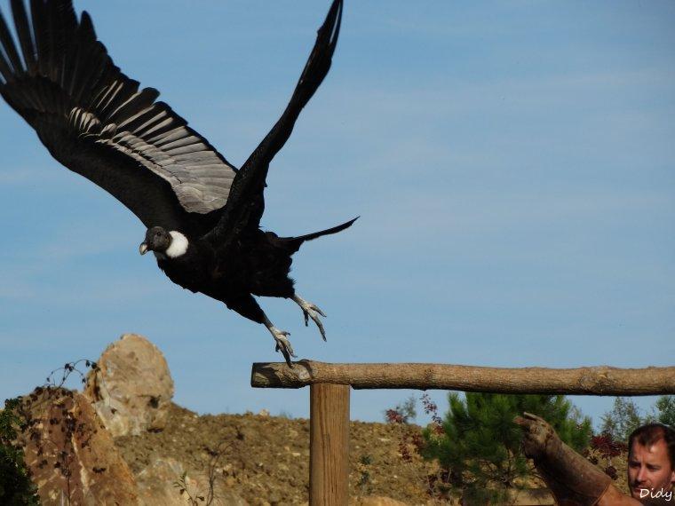 """nouveau spectacle d'oiseaux 2014 """"les maîtres des airs"""", le 19 Octobre 2014 suite 5"""