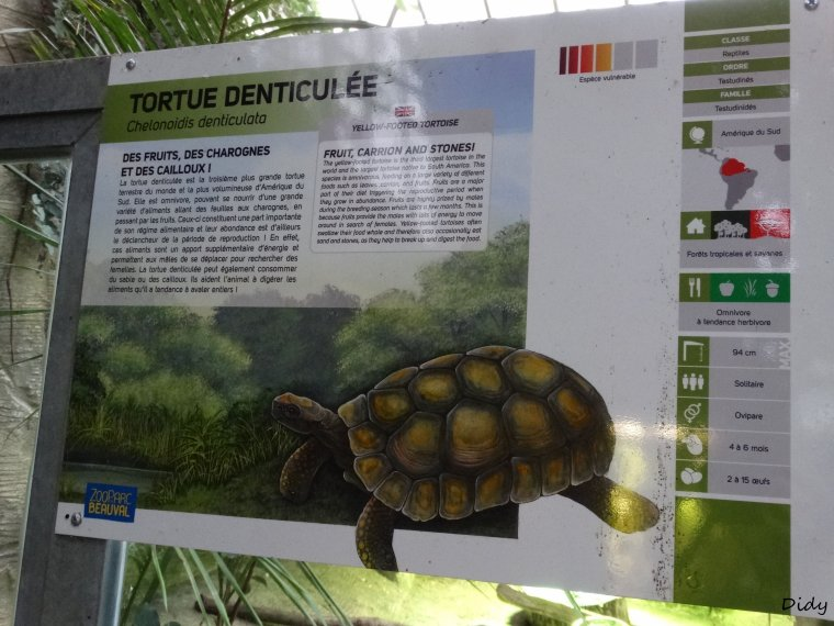 TORTUE CHARBONNIERE & DENTICULEE