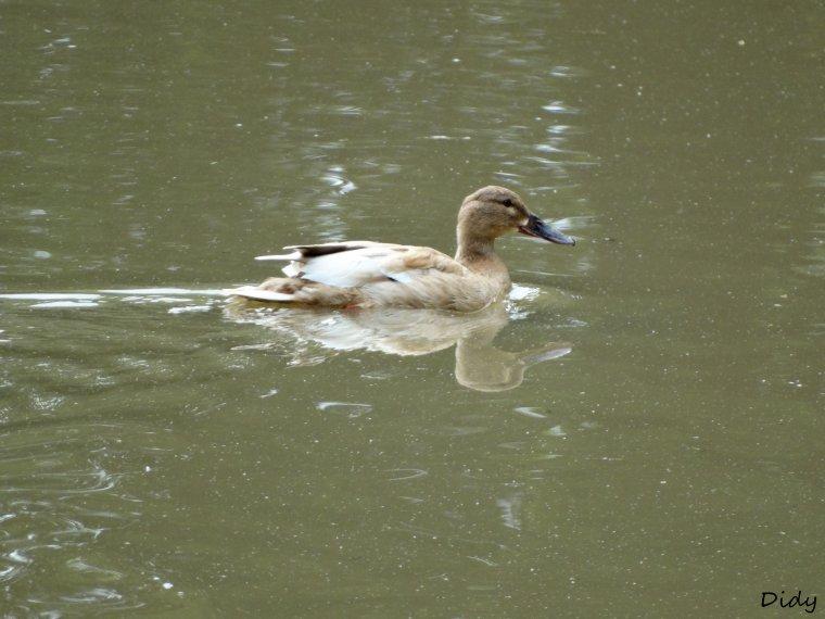 canards, espèces inconnus n°2