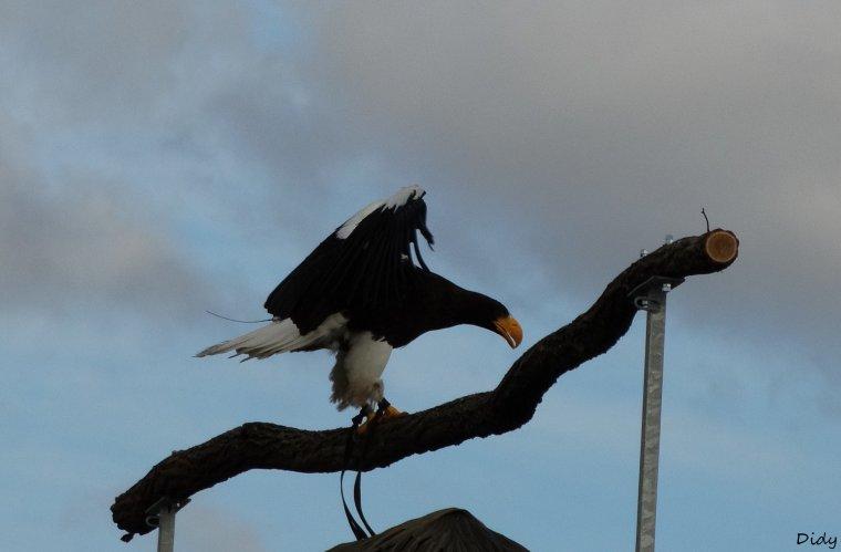 """nouveau spectacle d'oiseaux 2014 """"les maîtres des airs"""", le 10 Novembre 2014 suite 4"""