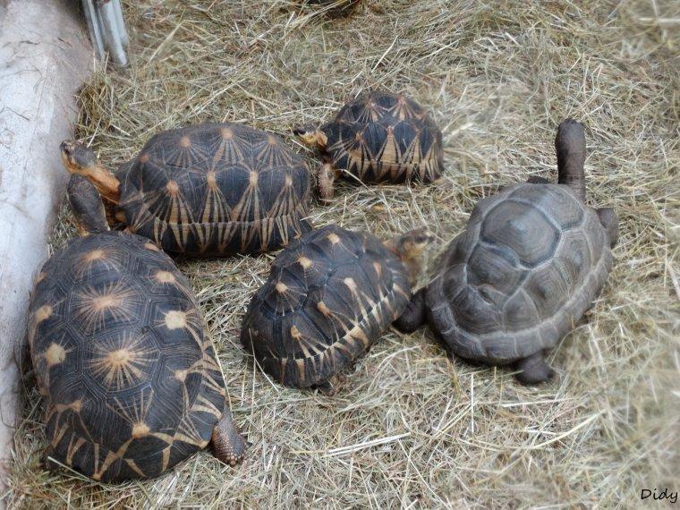 LES TORTUES du vivarium (radiée, boite, striée, géante d'Aldabra)