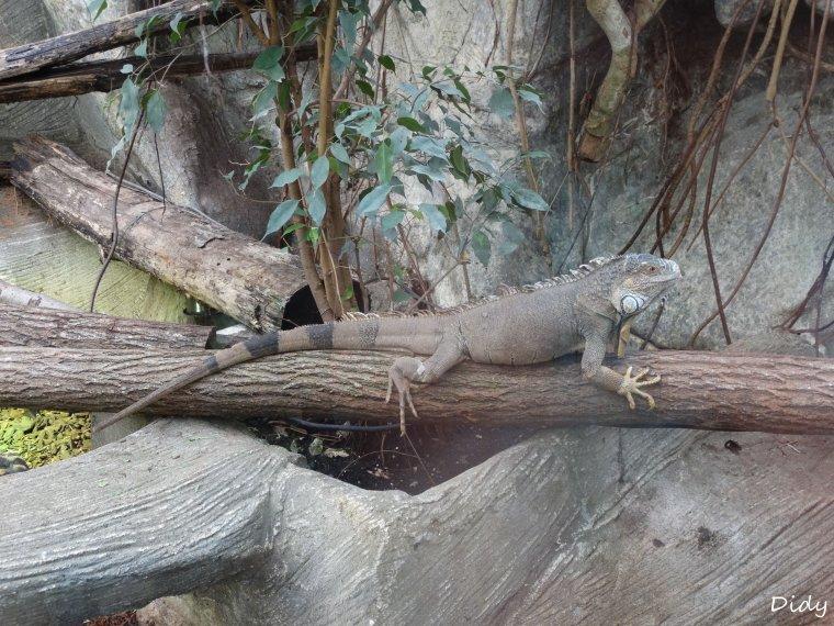 IGUANE COMMUN en liberté dans la serre aux gorilles
