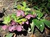 La flore des allées de Beauval - Hiver - Printemps 2015 suite 18