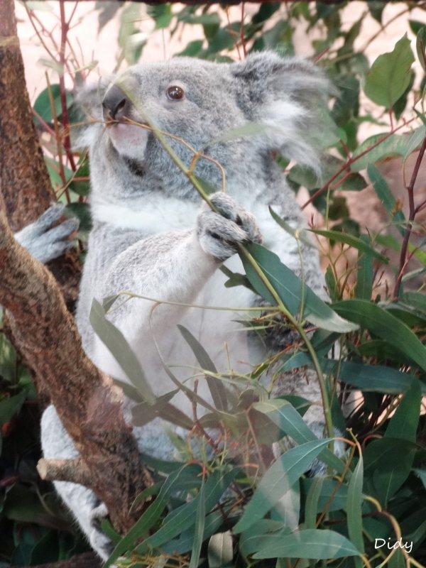 KOALA DU QUEENSLAND - Les adultes