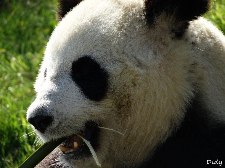 PANDA GEANT - HUAN HUAN femelle