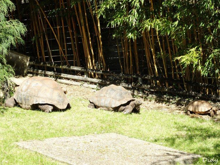 LES TORTUES DE LA PLAINE AFRICAINE (géant d'Aldabra & a éperons ou stiées)