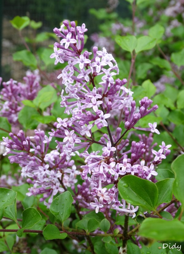 La flore des allées de Beauval - Printemps 2015 suite 23