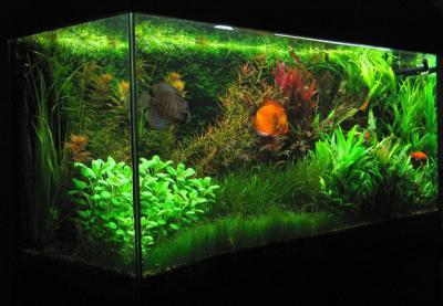 un aquarium plant avec discus discus f t p c
