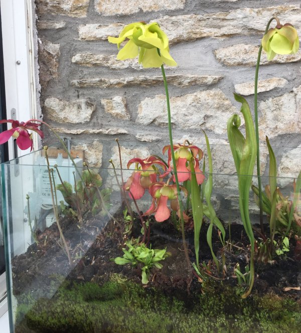 plantes carnivores en fleurs