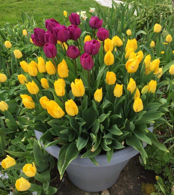 autres tulipes