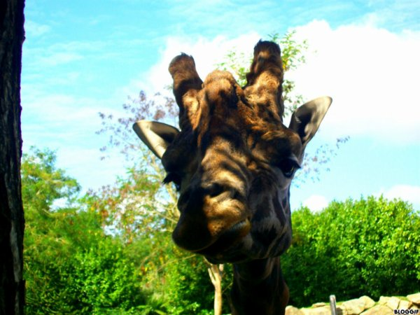 Girafe Photo n°3