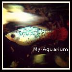 ■ Mes Platys _Présentation de mes Xiphophorus maculatus