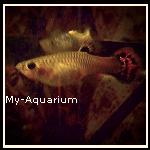 ■ Mes Guppys _Présentation de mes Poecilia reticulata