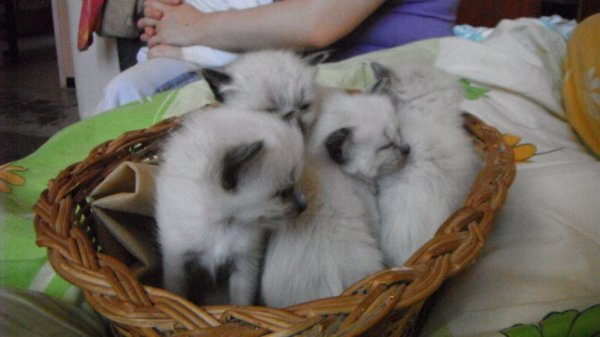 les 4 chatons