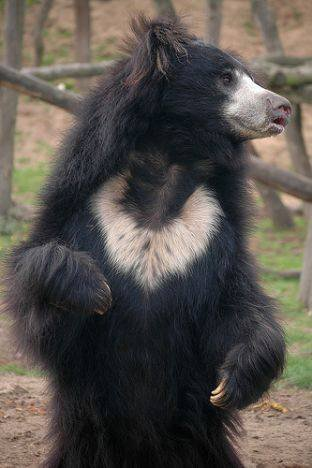 L'ours lippu