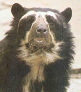 L'ours à lunette