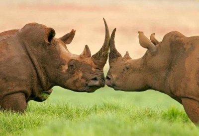 rhinoseros