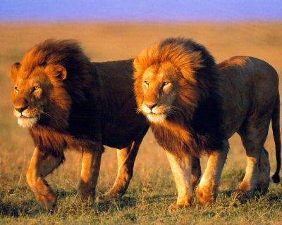 Lion frere