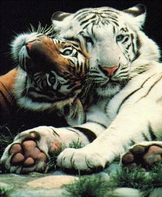 Calain de tigre